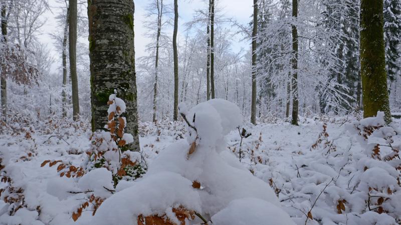 Schnee auf den Jungbuchen
