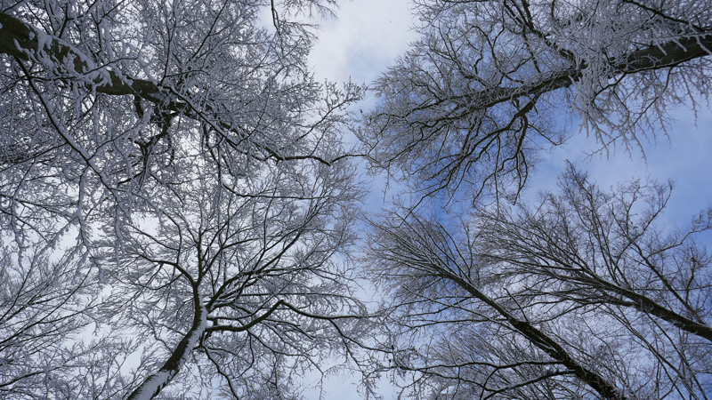 Schnee in den Kronen