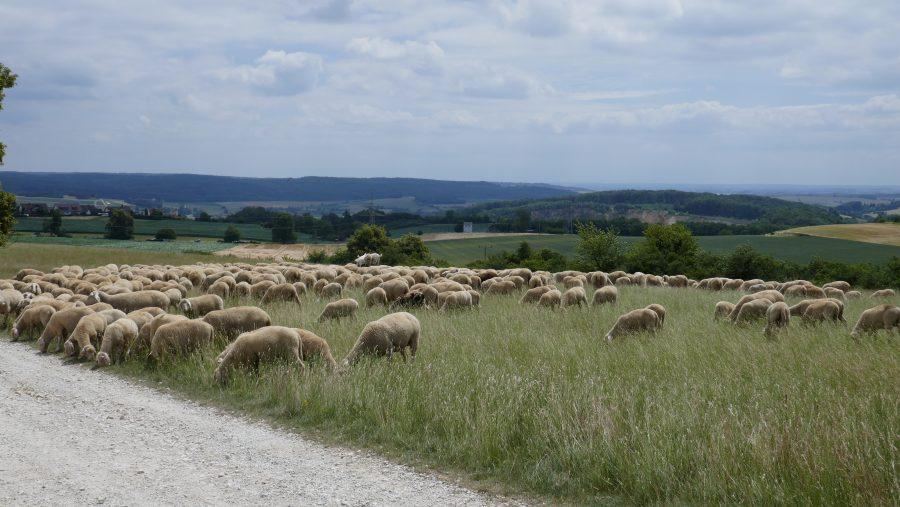 Alblandschaft mit Schafen